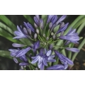Agapanthus Misty Dawn  (new)